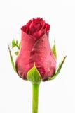 Härlig röd ro för singel Royaltyfria Foton