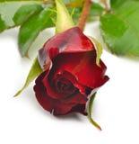 Härlig röd ros Royaltyfri Foto