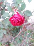 Härlig röd ros || Enorm blomma i röd färg fotografering för bildbyråer