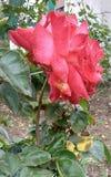 Härlig röd ros i morgon arkivfoton