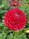 Härlig röd rosa dahliablomma royaltyfria bilder