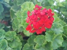 Härlig röd sardinia pelargon med gröna sidor Royaltyfri Bild