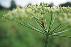 Härlig röd skalbagge på en grön växt royaltyfria bilder