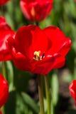 härlig röd tulpan Royaltyfria Foton