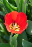 härlig röd tulpan Arkivfoton