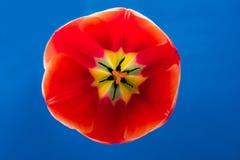 Härlig röd tulpan inom, på blå bakgrund royaltyfria foton