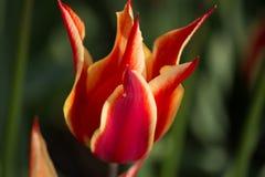 härlig röd tulpan Symbol av Turkiet Royaltyfria Foton