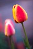 härlig röd tulpanyellow Royaltyfria Foton