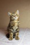 Härlig rödaktig kattunge Gingery brittisk kattunge Arkivbild