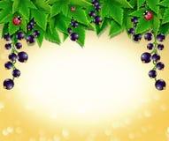 Härlig ram av svart vinbär Arkivbilder