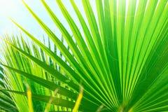 Härlig randig botanisk modell från stora runda spetsiga palmträdsidor på klar bakgrund för blå himmel Pastellfärgad solljussignal royaltyfri bild
