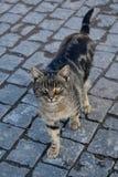 Härlig randig katt på en bakgrund av kontrollörer Arkivbilder