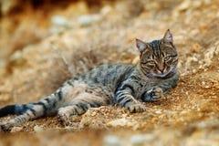 Härlig randig katt som ligger på stenar Är den gråa strimmig kattkatten för vuxna människan uotdooren Fotografering för Bildbyråer