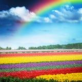 Härlig regnbåge över det flerfärgade tulpanfältet, Holland Fotografering för Bildbyråer