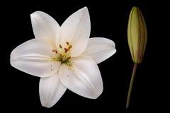 Härlig ren vit blomma och knopp av liljan arkivbilder