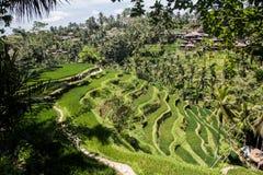 Härlig ricefield i centrala Bali, under av den Ubud byn Royaltyfri Bild