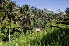 Härlig ricefield i centrala Bali, under av den Ubud byn Fotografering för Bildbyråer