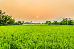 Härlig risfält med trevlig bakgrund Royaltyfria Foton