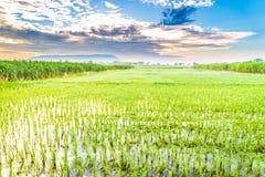 Härlig risfält med trevlig bakgrund Fotografering för Bildbyråer