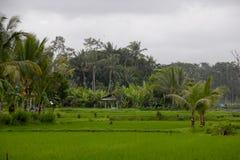Härlig risjordbruksmark på Bali, Indonesien Arkivbilder