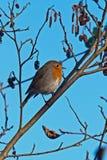 Härlig robinfågel Fotografering för Bildbyråer