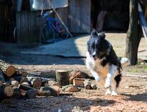 Härlig rolig fårhundvalpspring arkivfoton