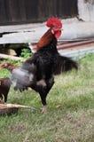 härlig rooster Arkivfoto