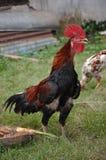 härlig rooster Royaltyfri Foto