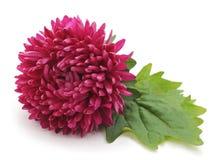Härlig rosa aster Royaltyfria Foton