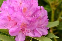 Härlig rosa azaleablomma royaltyfria foton
