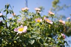 Härlig rosa blomma av den rosa busken, Rosa rubiginosa mot klar blå himmel, bakgrundsfoto Royaltyfri Bild