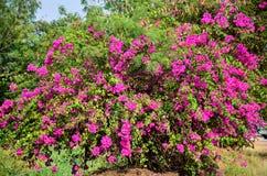 Härlig rosa blomma av Thailand som är utomhus- Arkivbilder
