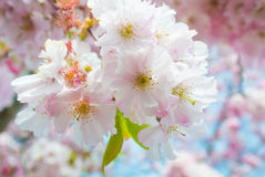 Härlig rosa blomma för körsbärsröd blomning (Sakura) på full blom Royaltyfri Foto