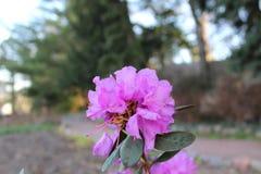 Härlig rosa blomma i trädgården Arkivbilder