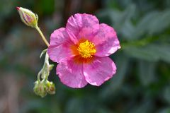 Härlig rosa blomma med gul ståndare arkivbild