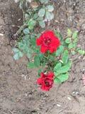 Härlig rosa blomma med röd färg fotografering för bildbyråer
