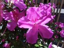 Härlig rosa blomma som dekorerar trädgården fotografering för bildbyråer