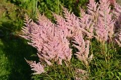 Härlig rosa blommaastilbeblom i blomsterrabatten i trädgården Arkivfoto