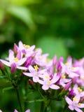 Härlig rosa blommaordning på golvgräsplanbakgrund Royaltyfri Foto