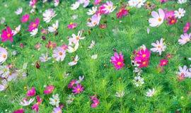 Härlig rosa blomning för tusenskönablomma blodsugare fotografering för bildbyråer