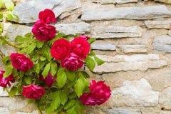 Härlig rosa buske mot den gamla stenväggen royaltyfri fotografi