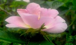 Härlig rosa caninablomma arkivfoton