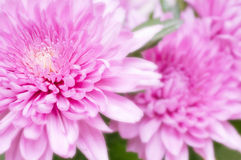 Härlig rosa chrysanthemum Arkivbilder