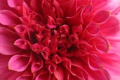 Härlig rosa dahliablomma, closeupsikt arkivbild