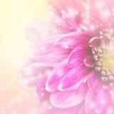 Härlig rosa dahliablommabakgrund Royaltyfri Fotografi