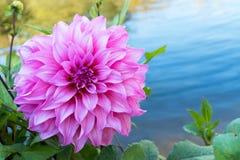 Härlig rosa dahliablommablomning, gräsplansidor och blått vatten ny blom- naturlig bakgrund Royaltyfri Fotografi