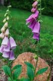 Härlig rosa digitalisblomma i trädgården royaltyfri bild