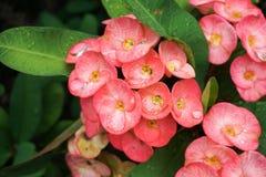 Härlig rosa EuphorbiaMilii blomma arkivfoto