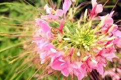 Härlig rosa exotisk blommaCloseup arkivbild
