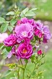 Härlig rosa extas i blått arkivbilder